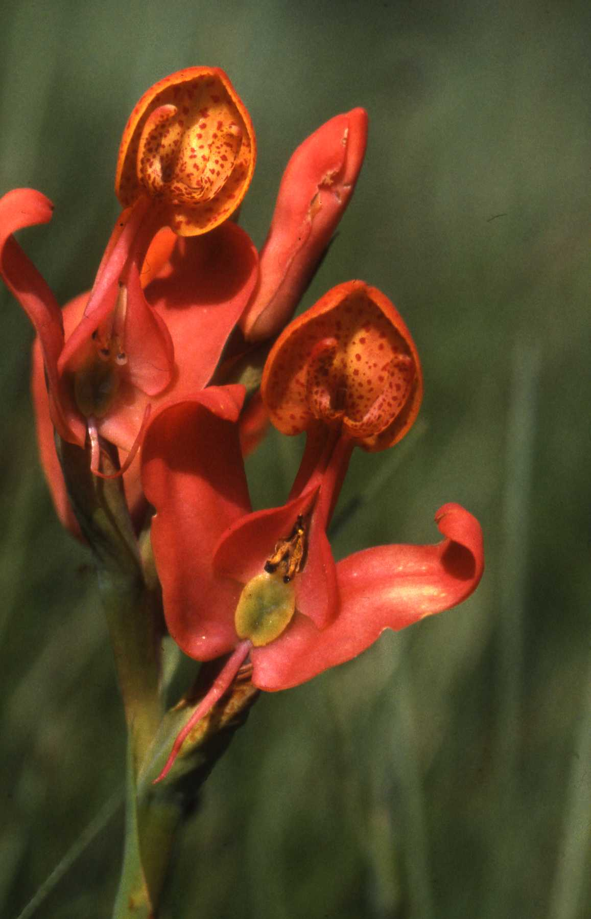 An orchid (orichida disa erubescens) on Nyika plateau (photo courtesy of Albert Smith)