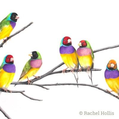 Gouldian Finches - Australian Wildlife Art Print