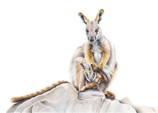 Australian Wildlife Art - Yellow-footed Rock Wallaby