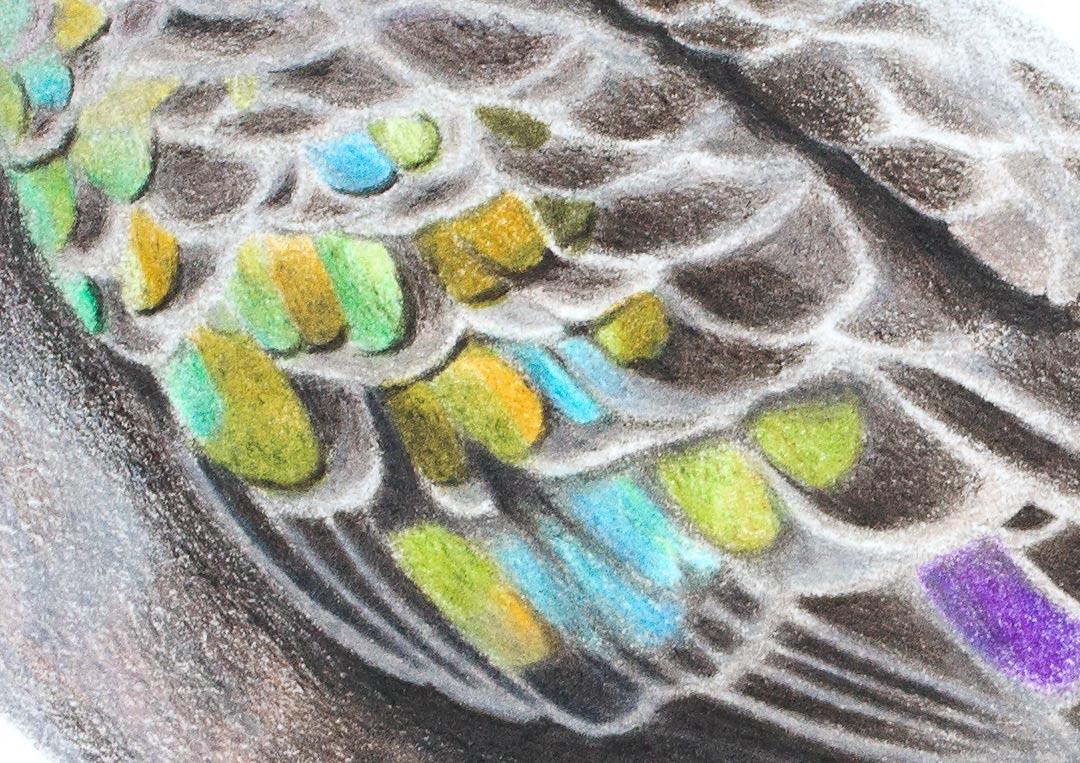 Bronzewing – Fine Art Print