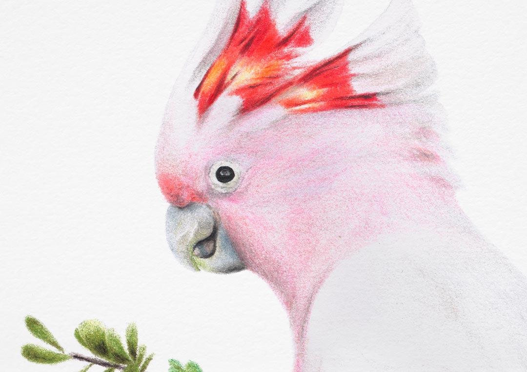 Major Mitchell's Cockatoo – Fine Art Print