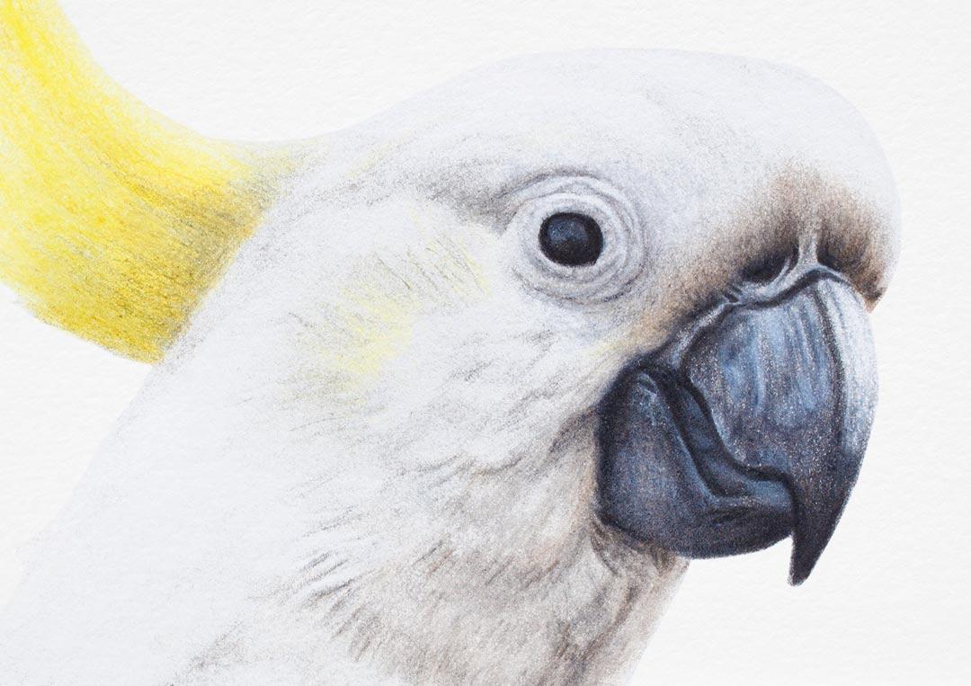 Sulphur-crested Cockatoo – Fine Art Print