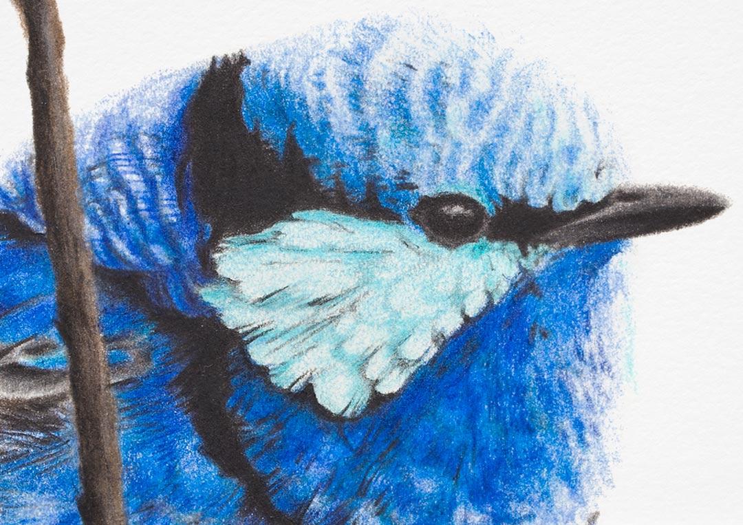 Splendid Fairywren – Fine Art Print