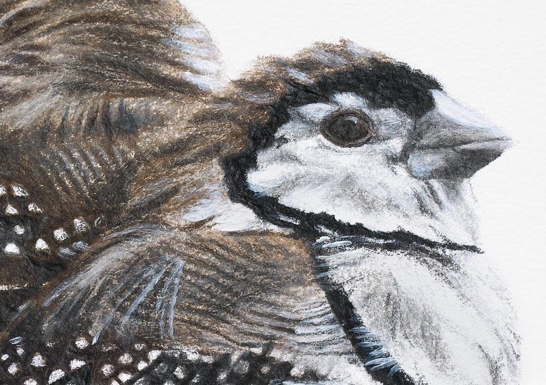 Double-barred Finches – Fine Art Print