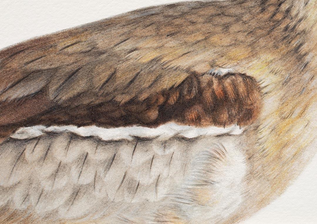 Beach Stone-curlew – Fine Art Print