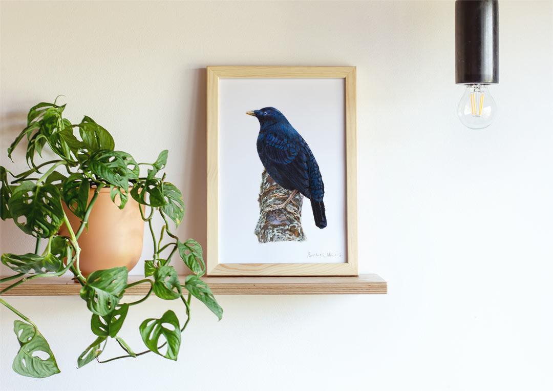 Satin Bowerbird – Example of Framed Fine Art Print