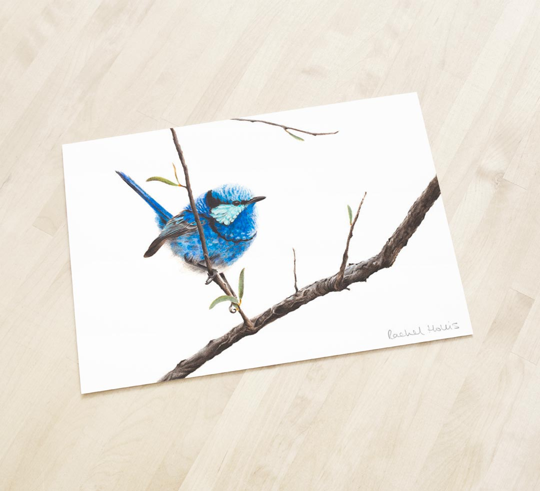 Splendid Fairywren – Fine Art Print