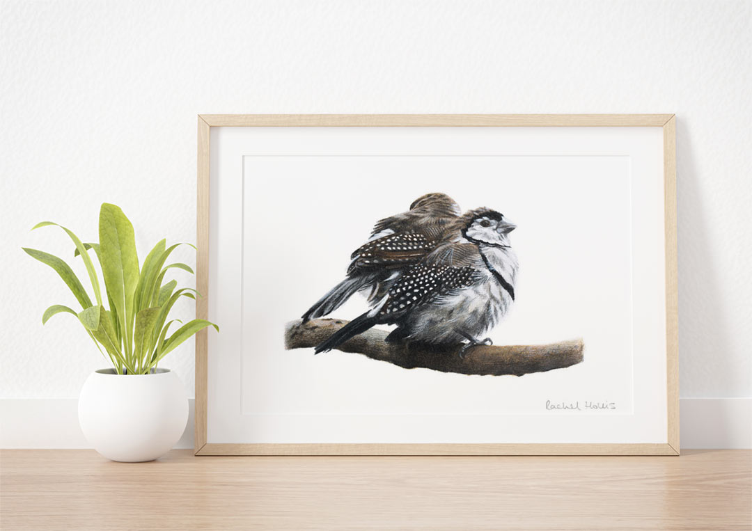 Double-barred Finches – Example of Framed Fine Art Print