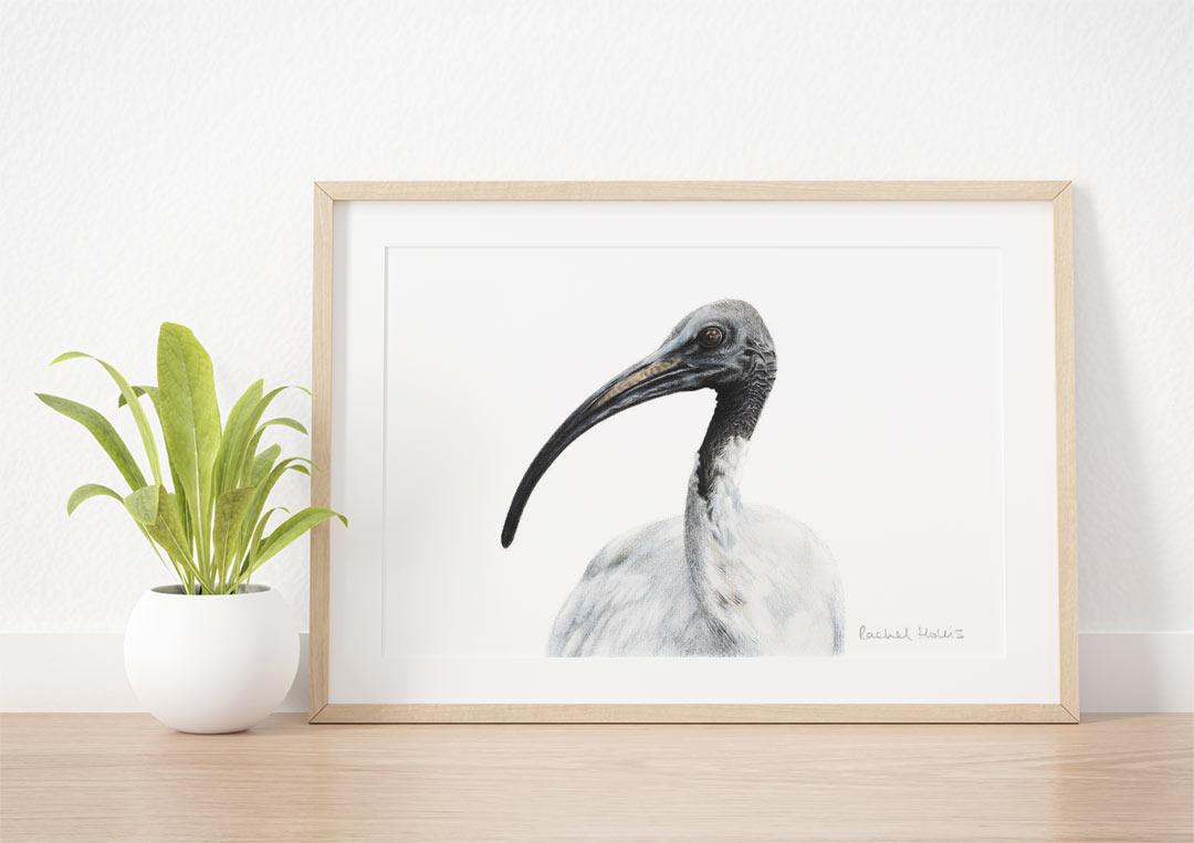 Australian White Ibis – Example of Framed Fine Art Print