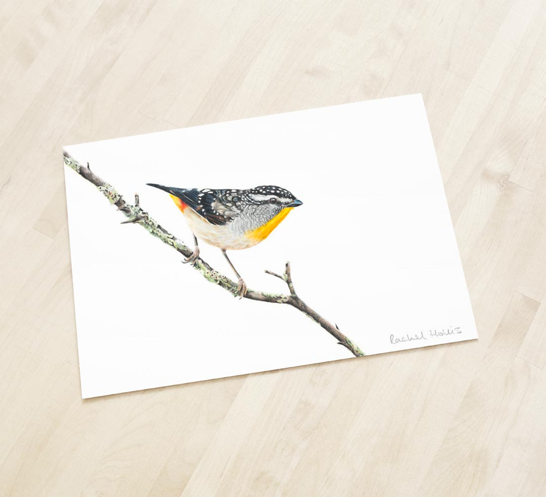 Spotted Pardalote – Fine Art Print