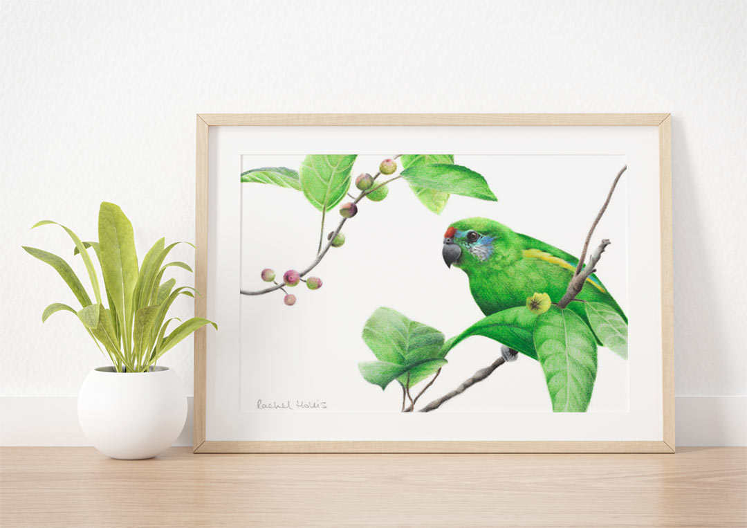 Double-eyed Fig Parrot - Example of Framed Fine Art Print