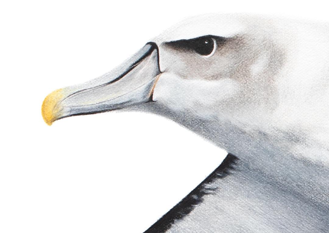 White-capped Albatross – Fine Art Print
