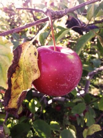 Apples in Long Island
