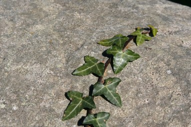 Ivy crawling up a rock