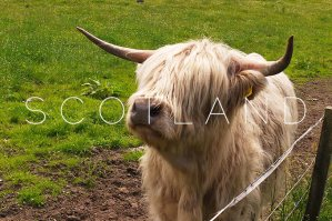 Scotland: The Highland cattle