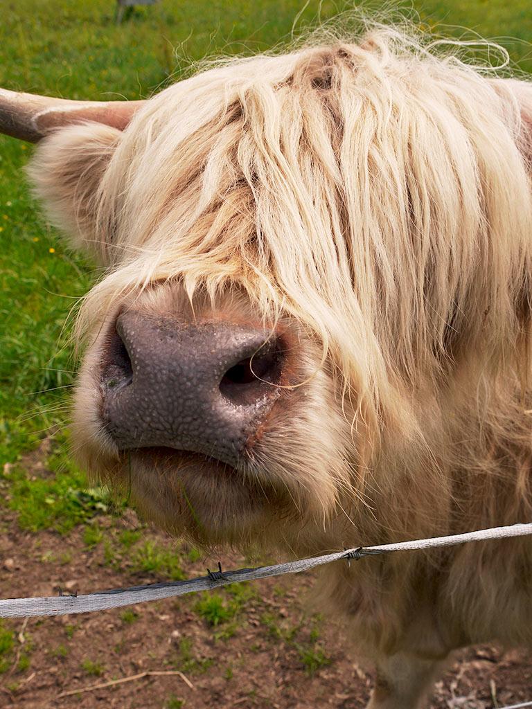 cows9