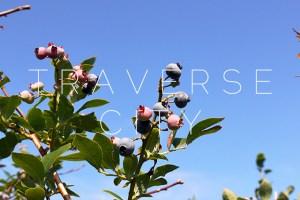 Traverse City: Blueberry picking