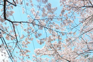 Seoul: Cherry blossoms