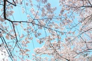 Seoul: Cherry blossoms