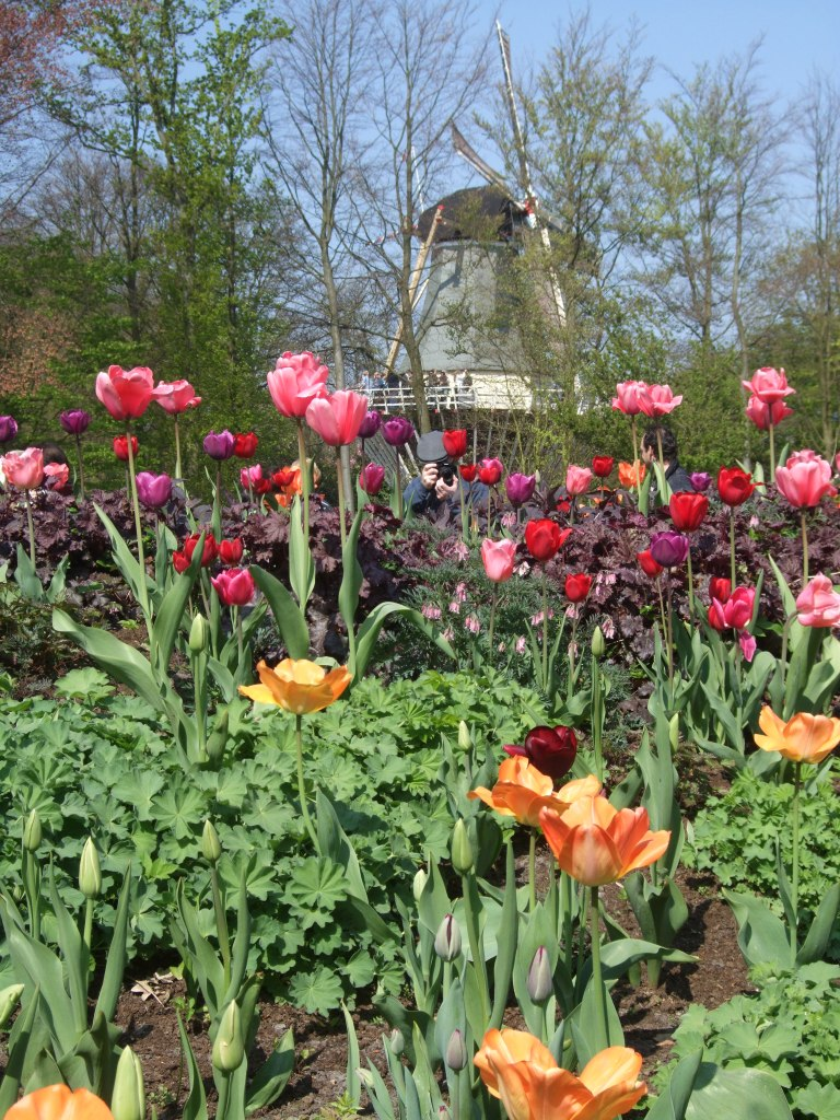 tulips and a windmill, taken at Keukenhoff