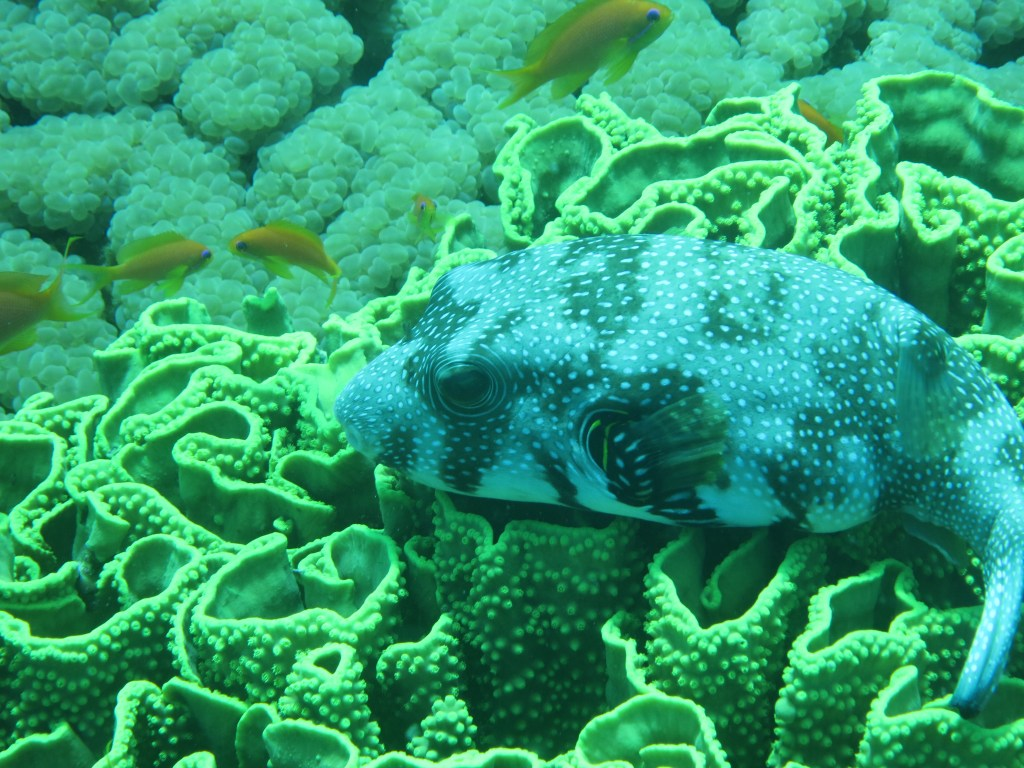 a white-spotted puffer fish on a salad coral (photo courtesy of Anne Hellersmith)