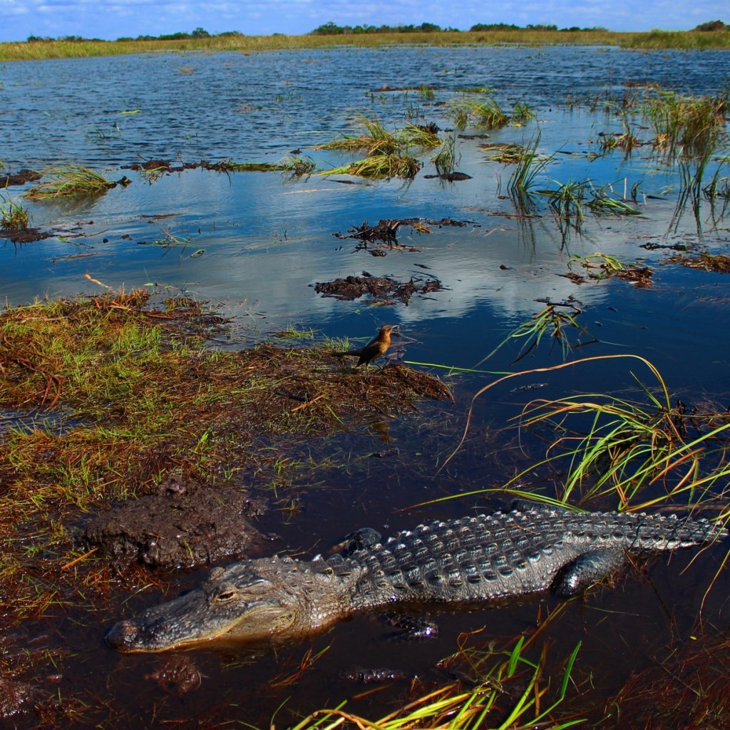 an alligator in the foreground, half submerged. Middle of the photo behind the alligator is a small water bird standing on a muddy bit of land that is barely above the surface of the water. Beyond that, water, with here and there a tuft or two of grass.