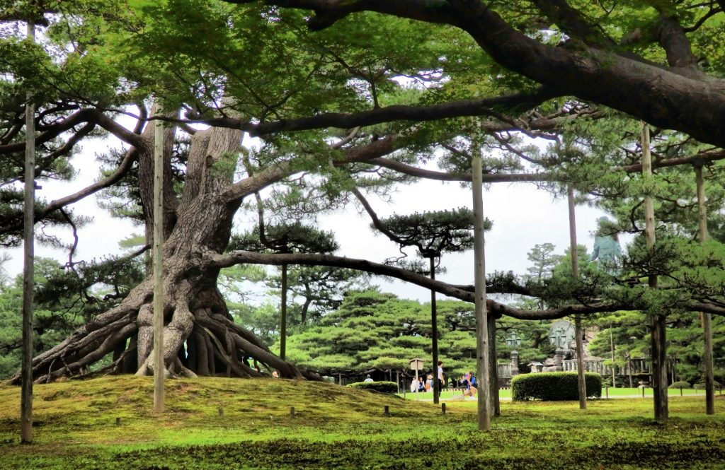 A very old tree in Kenrokuen Garden, Kanazawa, has poles under its branches, keeping them up and off the ground.