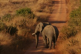 our elephant, in Nyika National Park in Malawi (photo courtesy of Anne Hellersmith)