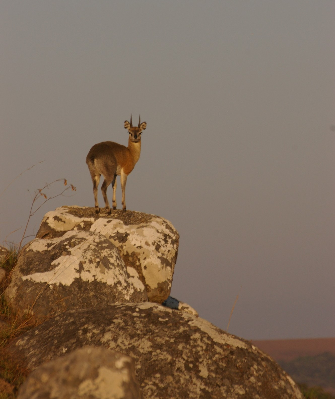 A klipspringer antelope, spotted in Nyika National Park in Malawi (photo courtesy of Anne Hellersmith)