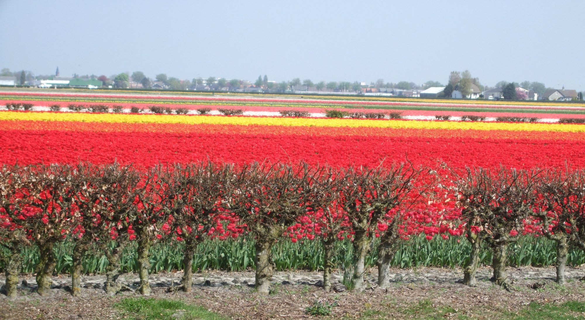 This is the kind of view you'll see if you drive the Bollenstreek route in season.