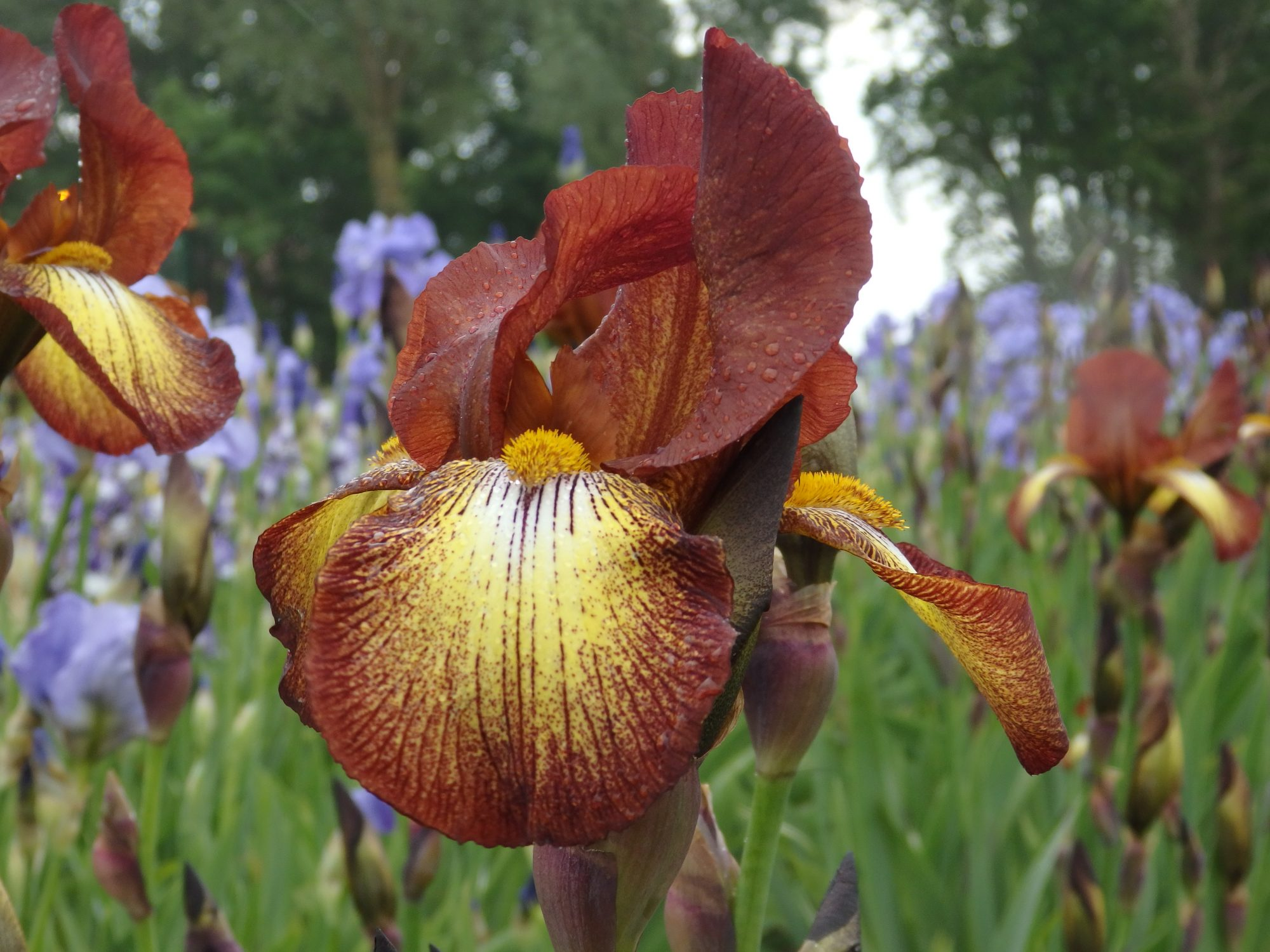 an iris in a field of irises at Kwekerij Joostens, one of the gardens that can be visited