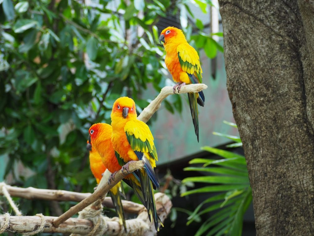 Four small parrots perched on a branch. They are mostly yellow, but with a bit of bright orange on their lower bellies and around their eyes. Their tails are green and their wings have a bit of green too.