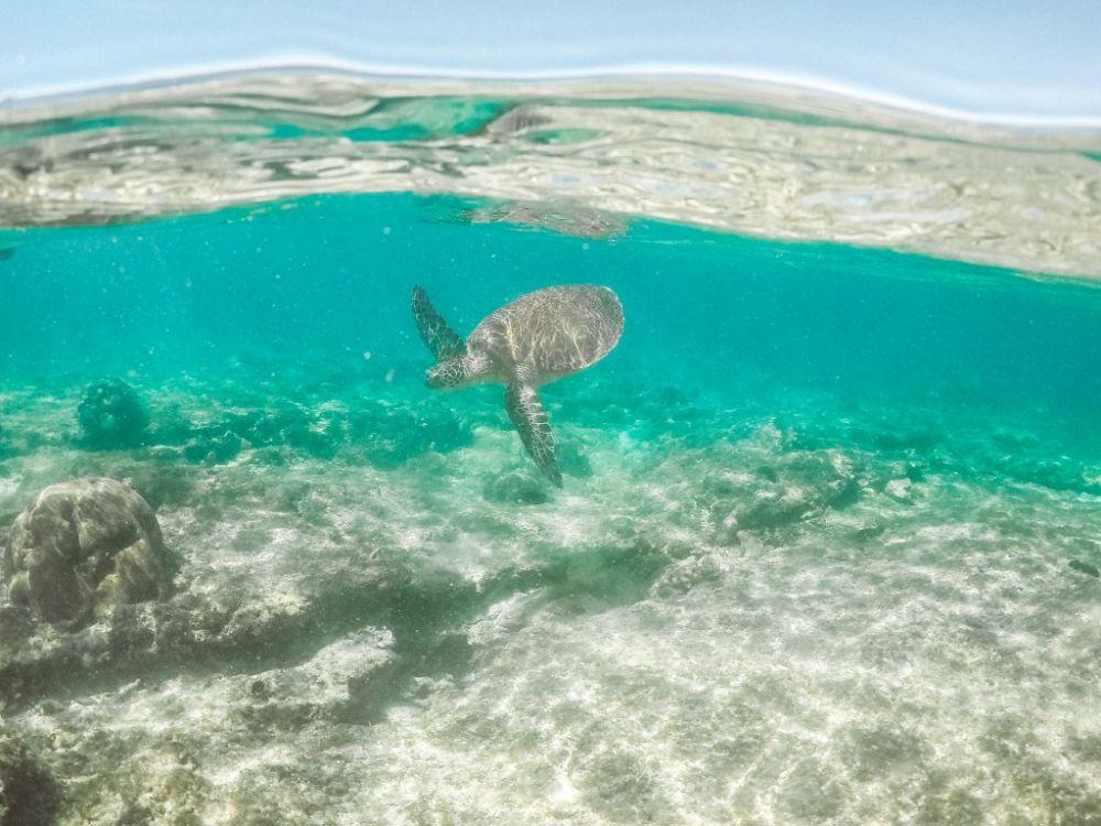 A turtle at Apo Island. Photo courtesy of Ruben Arribas.