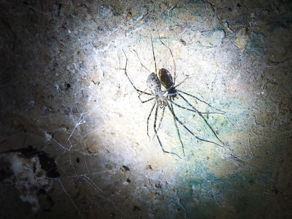 A spider on the wall of Gomantong Cave. The spider has a grey speckled body and legs that are about 3x its body size. Again it is in the circle of light from a flashlight with a stone background.