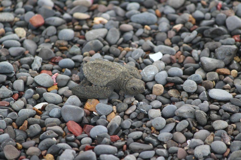 A turtle at Tortuguera National Park. Photo courtesy of Kaila Yu.