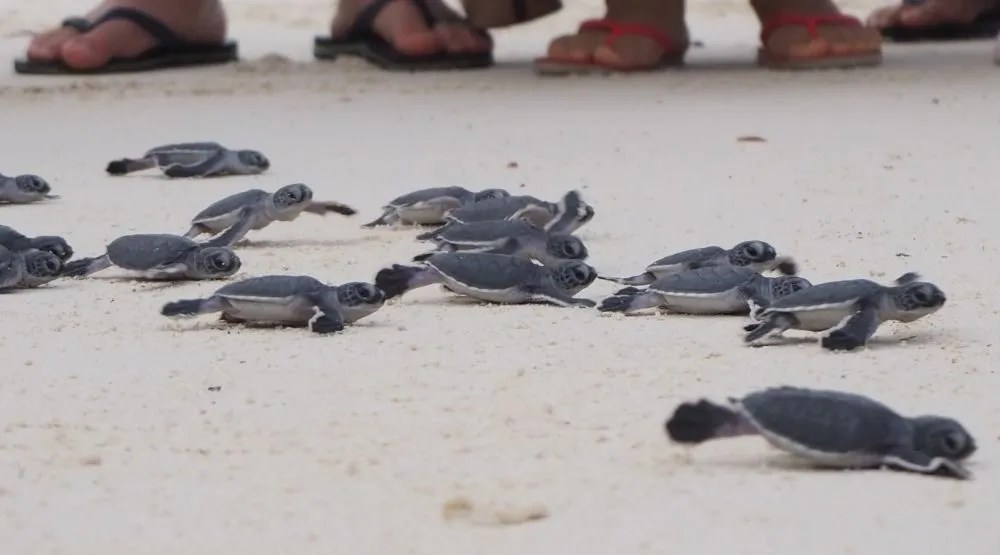 Green turtle hatchlings on their rush to the water at Lankayan Island turtle sanctuary.