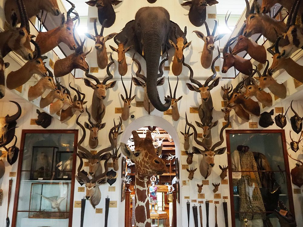 Inside the Dunrobin museum: lots of dead animals brought back from the Sutherland family's safaris.
