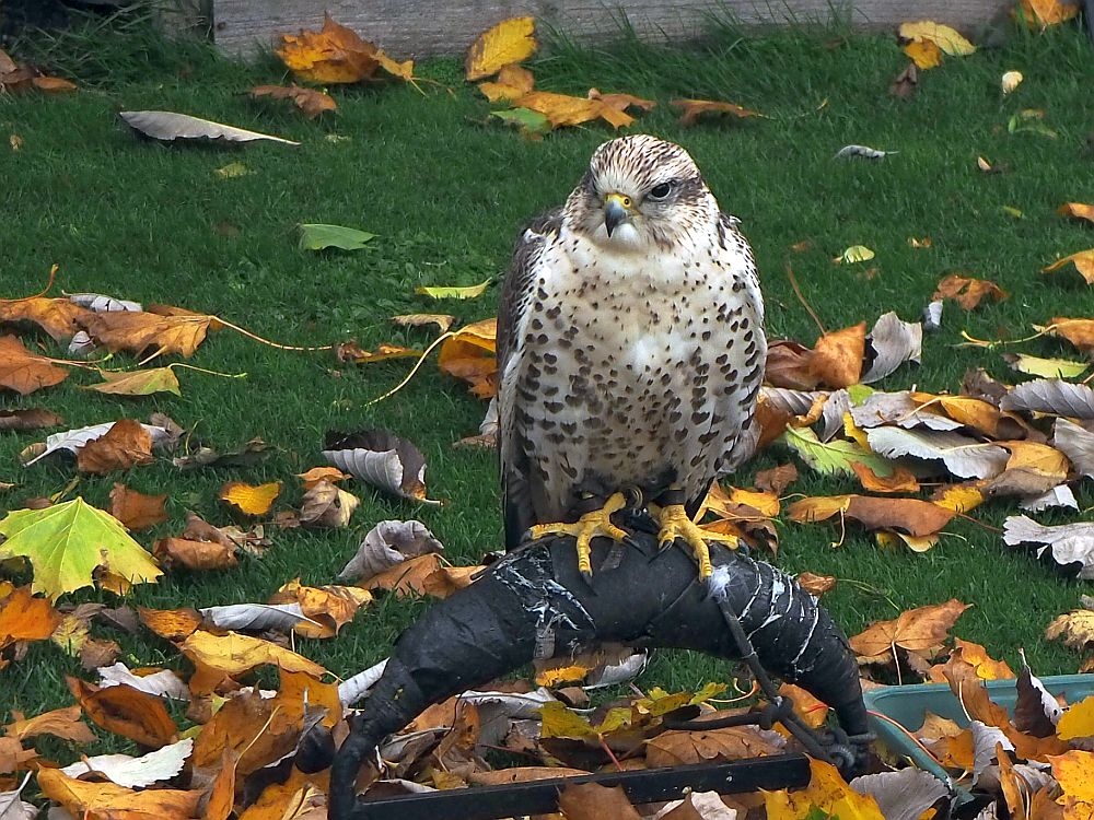 One of the waiting cast members - a goshawk, maybe? - at the falconry demonstration at Dunrobin Castle.