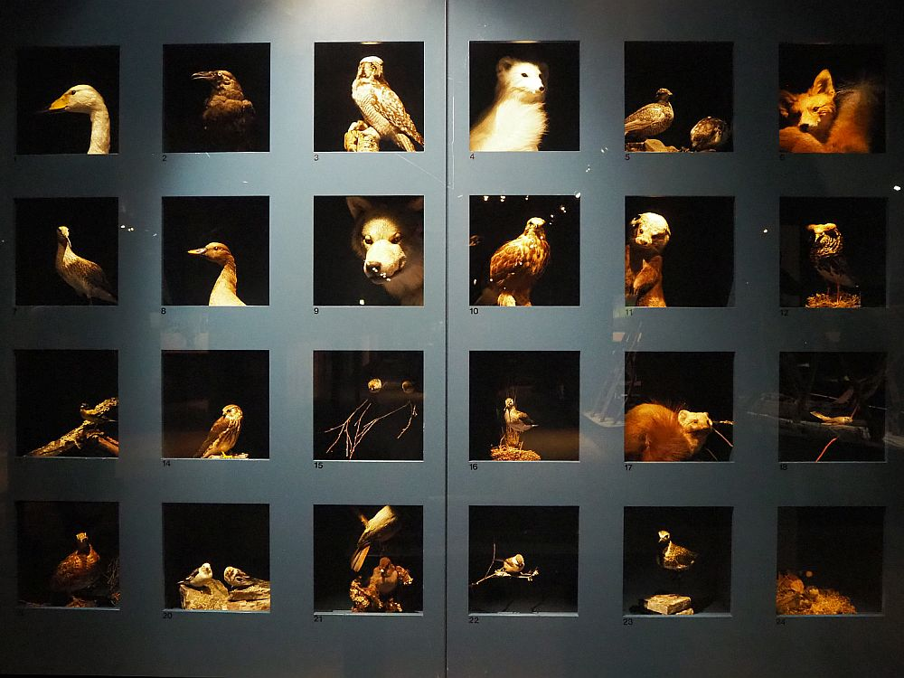 Among the things to do in Rovaniemi is to visit Arktikum. Pictured is a wall of glass-fronted cubes, each with a different small animal visible inside: a variety of birds and small animals including a hawk and a fox.