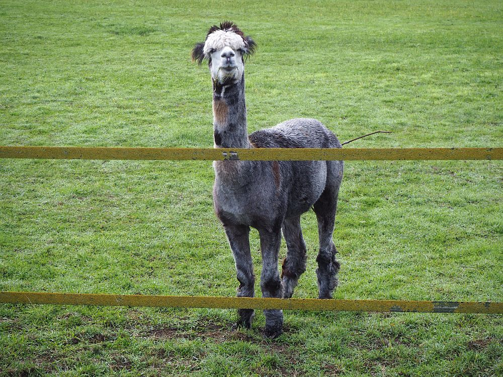 The alpaca looks straight at the camera over a fence. It is mottled grey and brown. Its face is white with a mop of white hair over its eyes and even longer brown hair behind that.