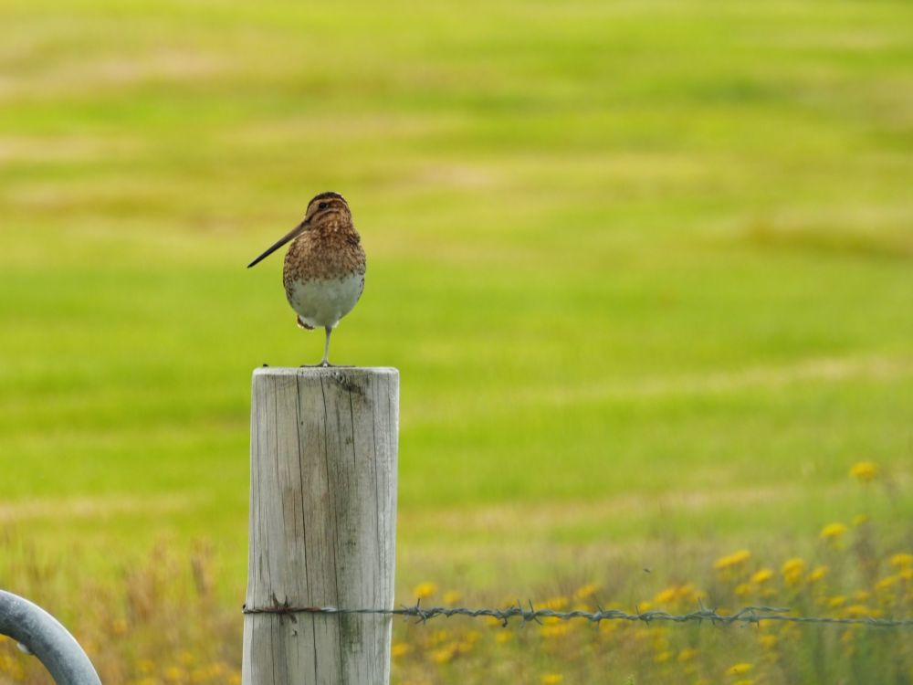 A bird stands on one leg on top of a fencepost. The bird has a very long thin beak, turned toward the left. Its belly is white and its upper body and head are brown.
