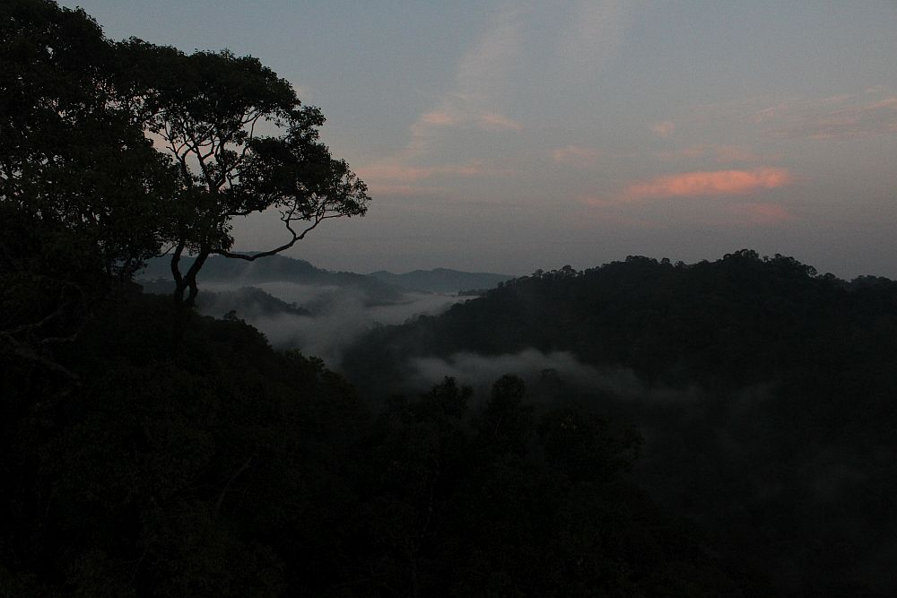Looking over the top of the Brunei rainforest: in the pre-dawn light the trees are dark. Between the gentle hills a layer of cloud, and the sky shows pink light, the beginning of sunrise.