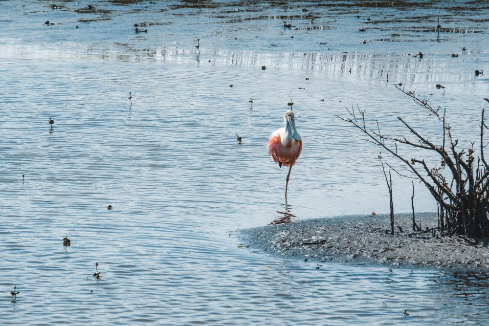 A spoonbill stands in the center of the photo, in shallow water, with a bit of gravelly shore showing on the right. The spoonbill has a pink body, white neck and a beak shaped like a long spoon. The shallow water around it is dotted with much smaller birds and some small plants sticking out of the water as well.