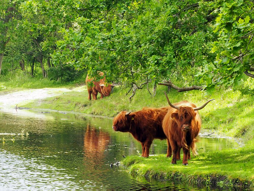 In the foreground, two highland cows with long brown hair and large horns. One faces the camera, while the other looks to the left over a pond. They stand on a green grassy bank under a leafy tree. Behind them is another one, grazing in the grass on the bank of the pond.