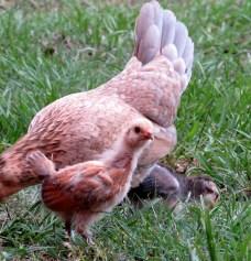 chicks 9