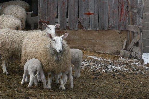 Sheep. | Clean. : : the LuSa Organics Blog