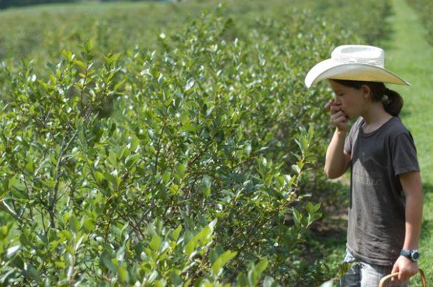 Picking blueberries [Clean.]