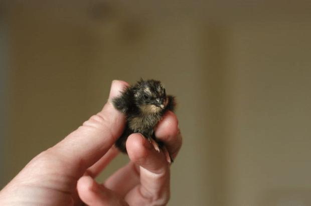 Raising quail