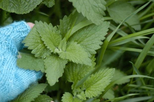 Wonderfully Wild: harvesting catnip for tea & tincture   Clean