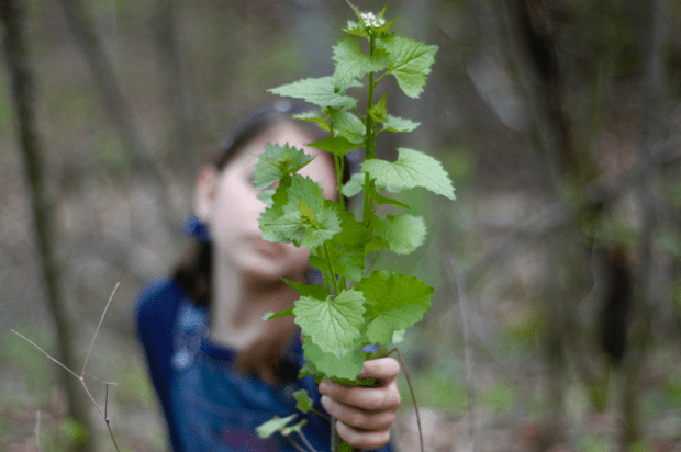 (not so wonderfully wild) Invasive Garlic Mustard : : Pesto Recipe